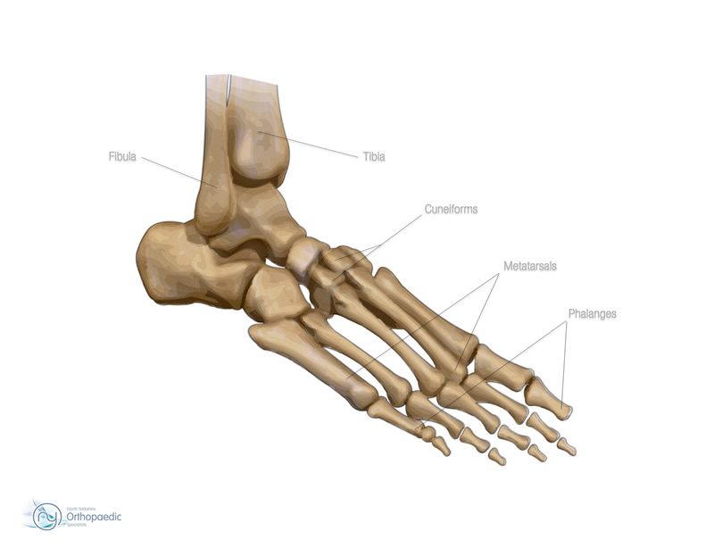 Foot Anatomy White Rose Clinic York